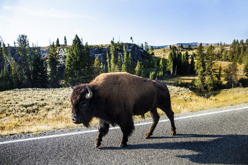 An American bison in Lamar Valley, Yellowstone National Park. 2018
