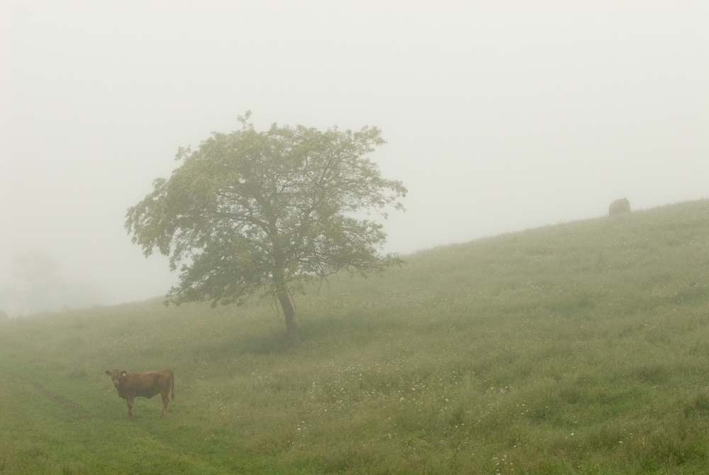 PS137 Cow and tree mist.jpg