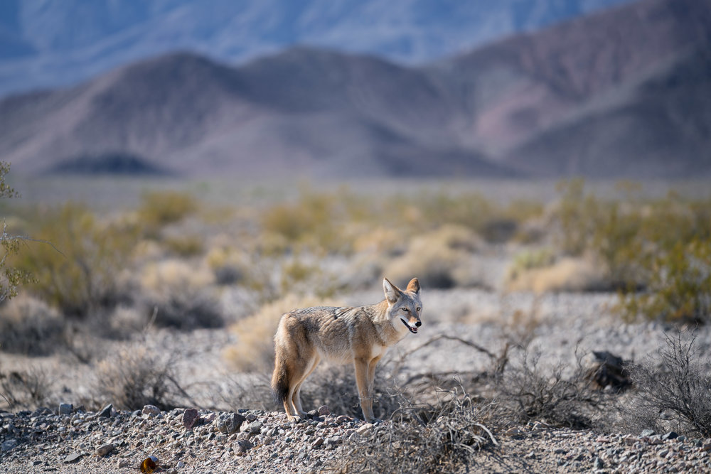 Death-Valley-national-park-wild-fox