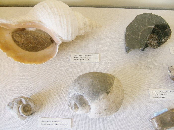 Some of the fossils in the display case.