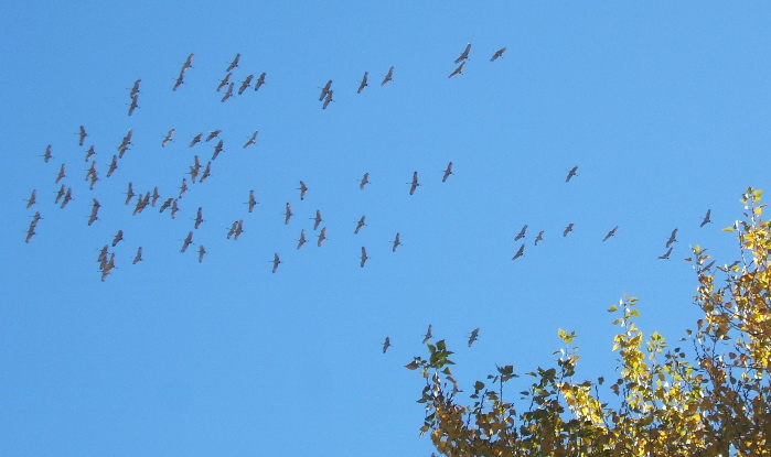 Sandhill cranes circling above cottonwood trees.   Photo credit: Elizabeth J. Buckley   © 2016