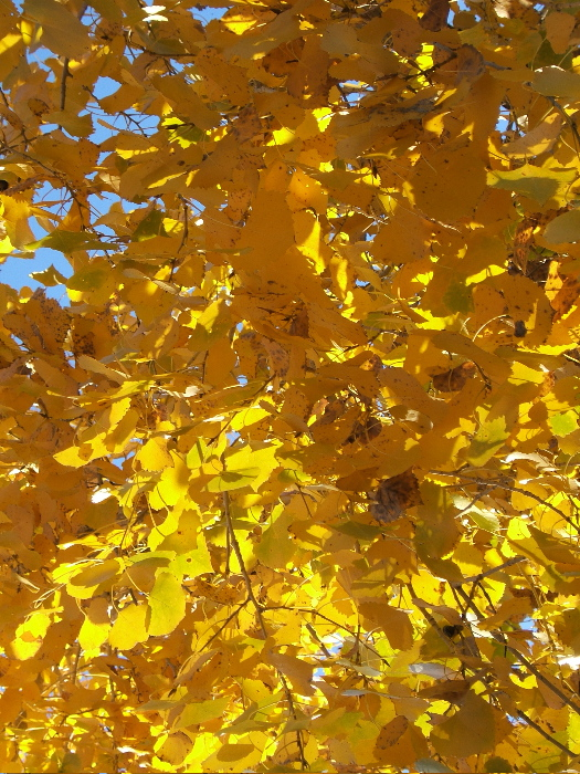 Golden Cottonwood leaves. Photo credit:  Elizabeth J. Buckley  © 2016