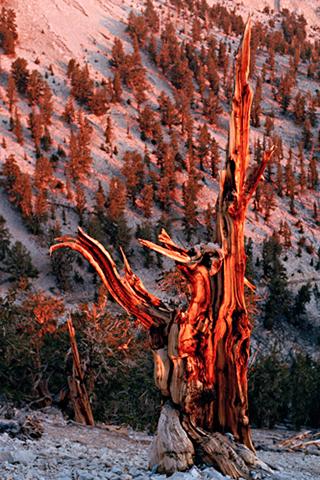 Bristol-Cone-Pine-red-web-1.jpg