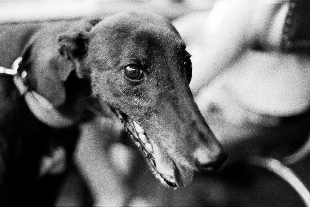 Lily the long dog on Nikon FA with TRI-X.