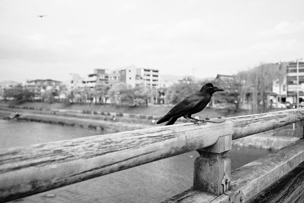 Karasu perched on the bridge in downtown Kyoto.