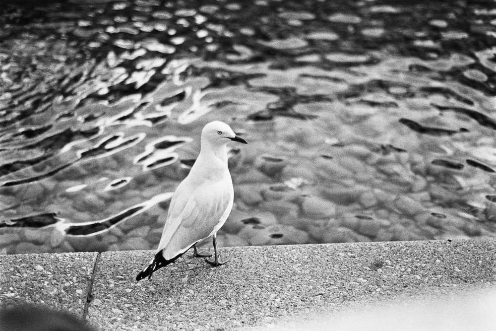 Steve the Seagull.