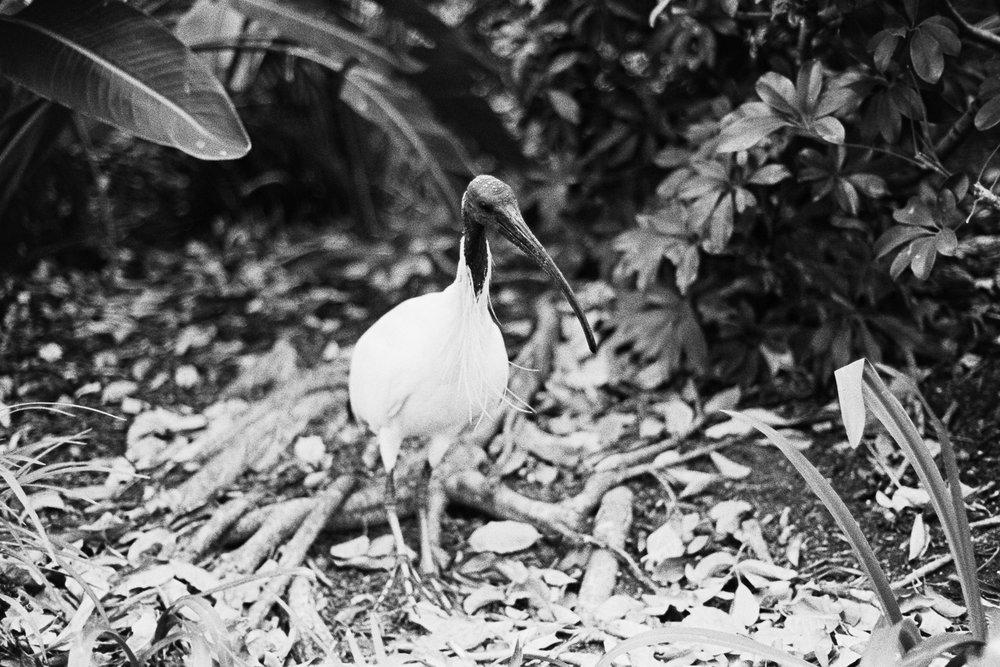 Bin chicken (aka Ibis).