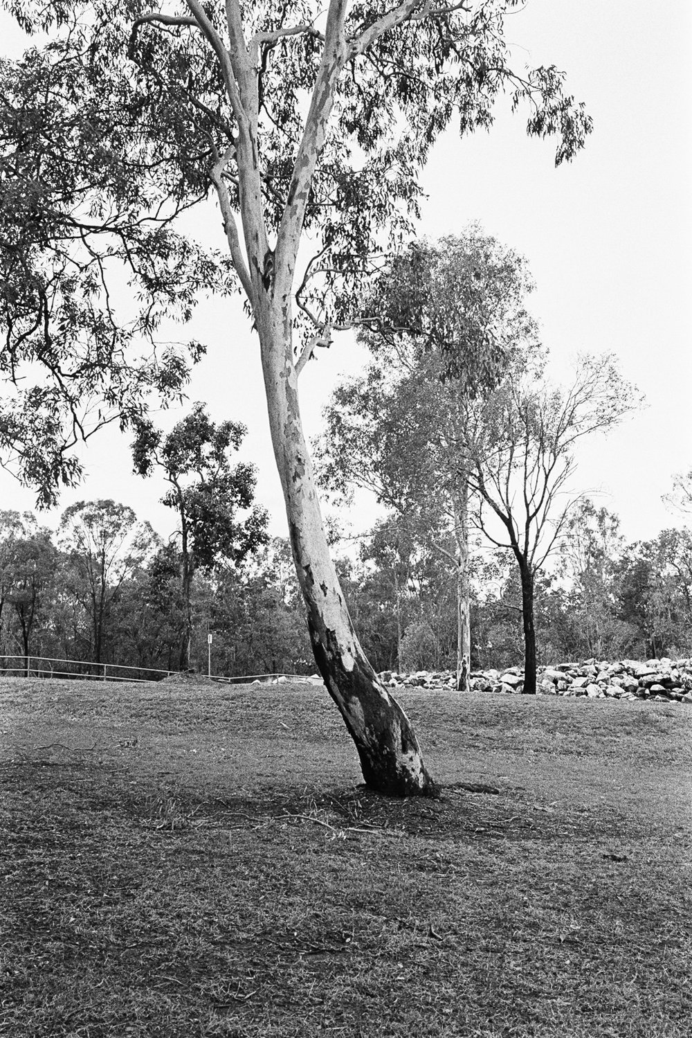 Gum trees are beautiful on film.