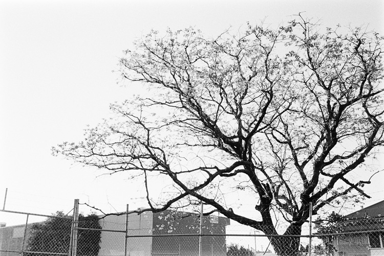That Bowen Hills tree.