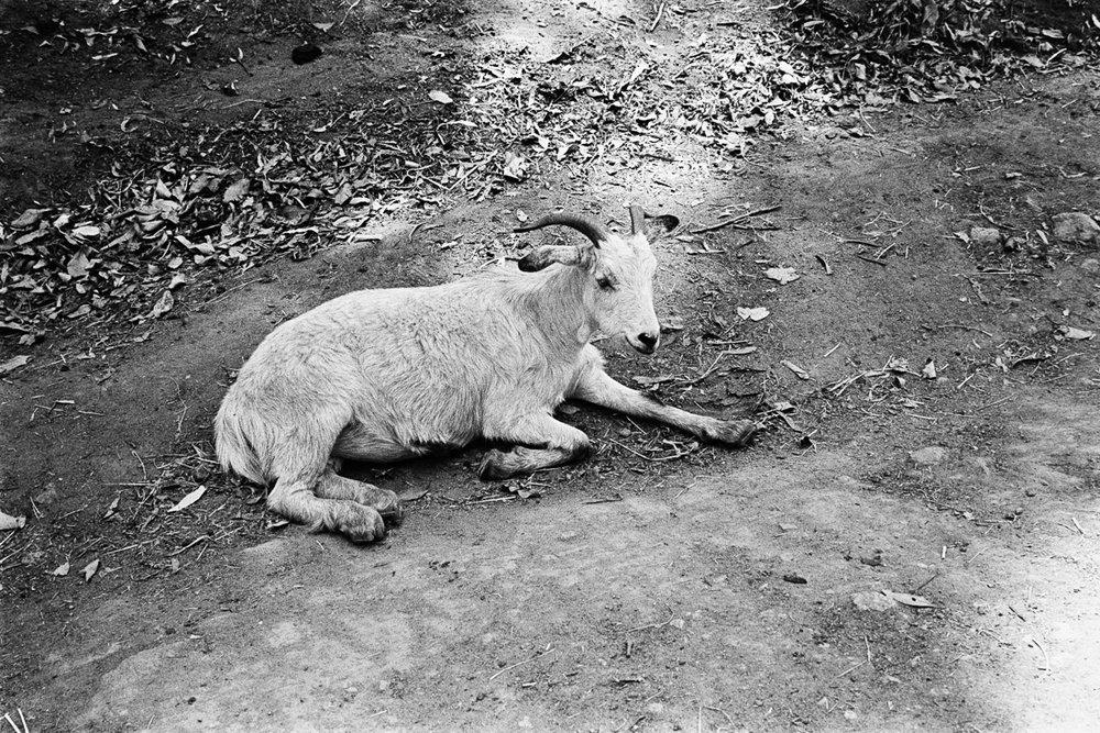 I love goats.