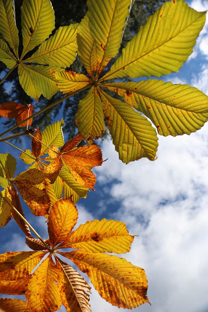 Sky Leaves - Noel Baumgarten