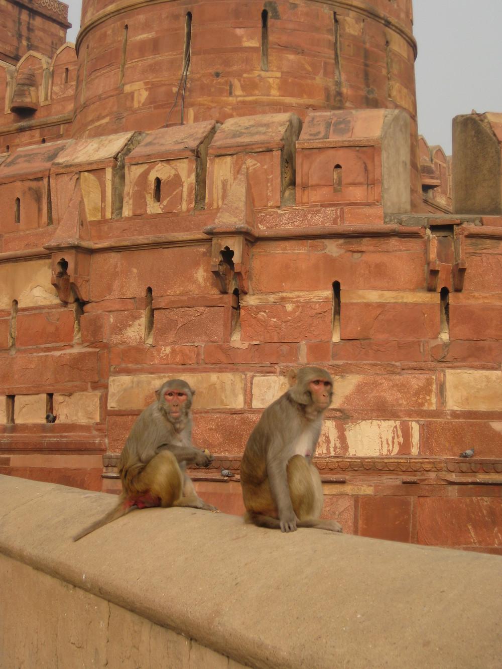 Monkeys surveying the scene