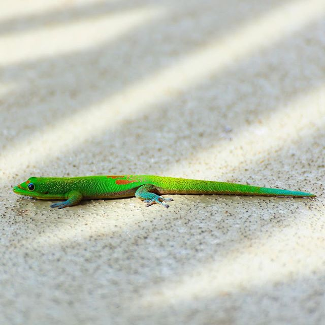 Lizards are weird and cool looking. The ones in Kauai are even more exotic and prominent!