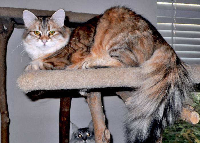 Siberian_Cat1.jpg