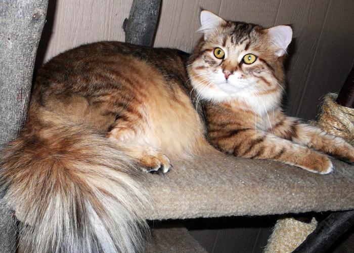 Siberian_Cat2.jpg
