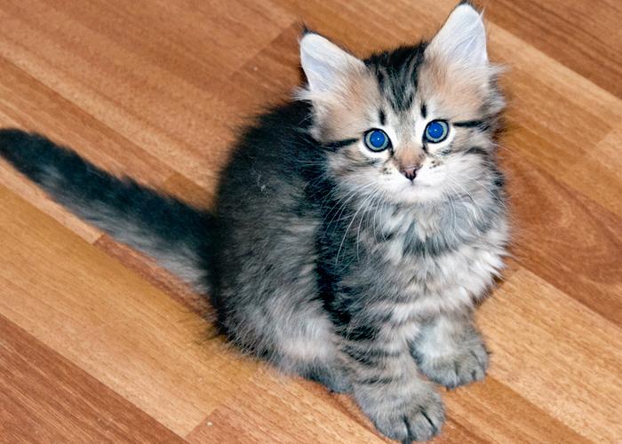 Siberian_Cat6.jpg