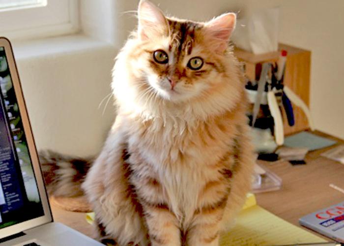 Siberian_Cat8.jpg