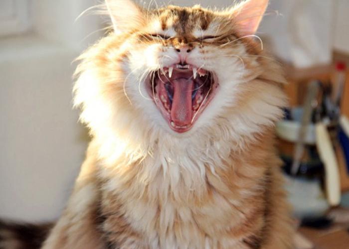Siberian_Cat7.jpg