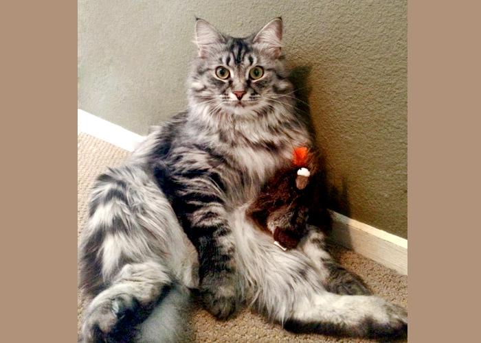 Siberian_Cat10.jpg