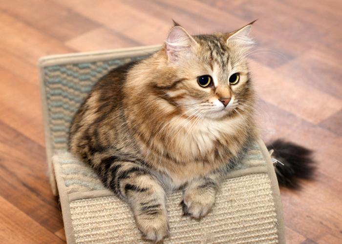 Siberian_Cat13.jpg