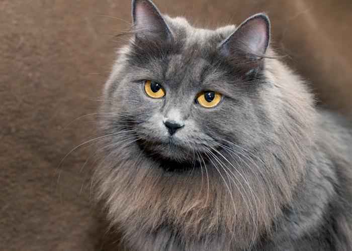 Siberian_Cat14.jpg