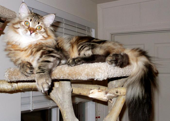 Siberian_Cat23.jpg