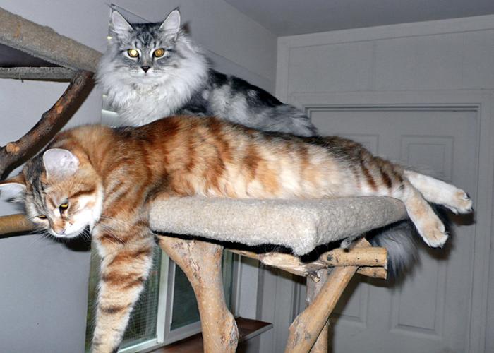 Siberian_Cat24.jpg