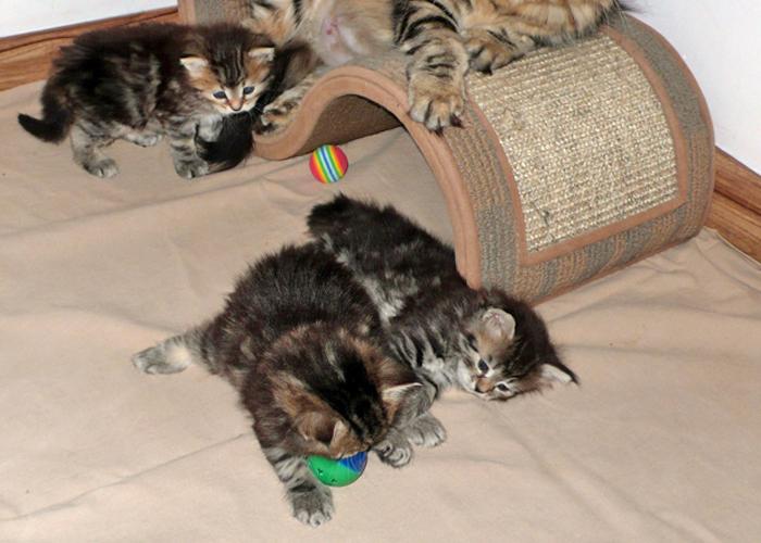 Siberian_Kitten2.jpg