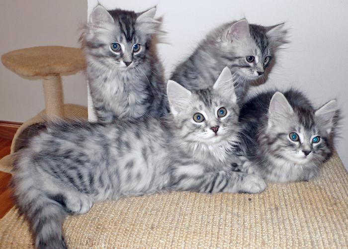 Siberian_Kitten4.jpg