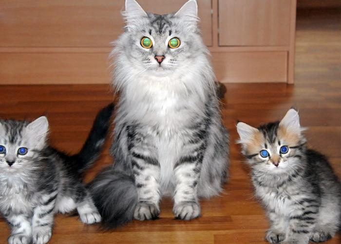 Siberian_Kitten5.jpg