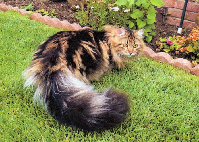 Siberian_Cat26.jpg
