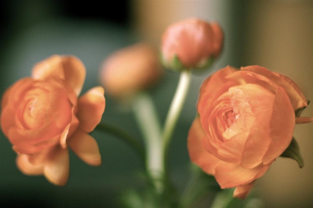 23 Ranunculus