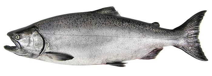Wild_Chinook_salmon.jpg