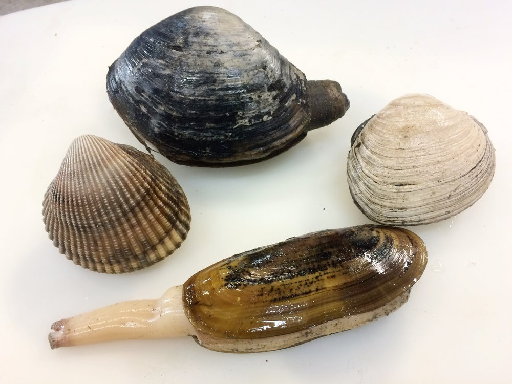 Native Clams