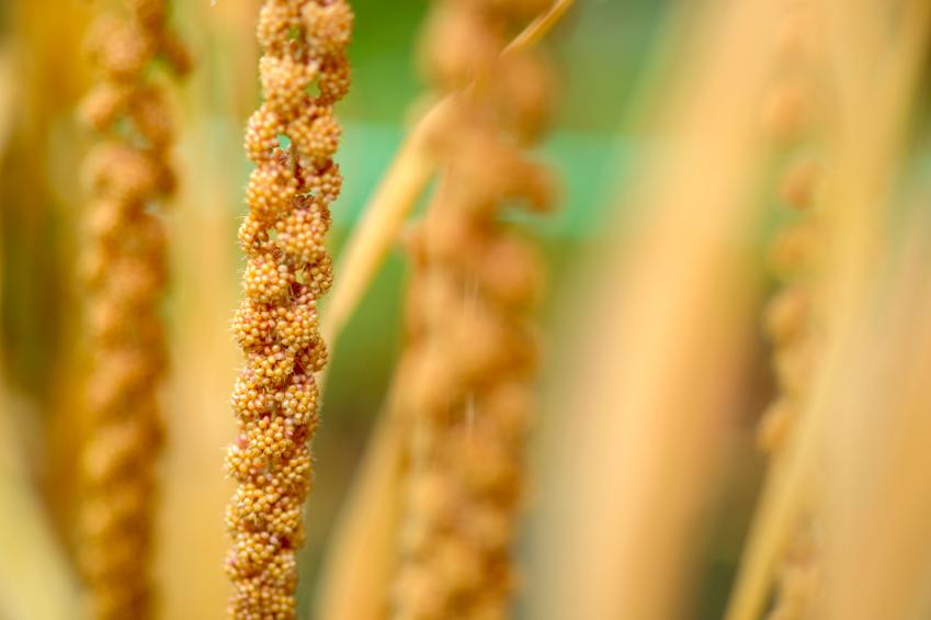 Hope Bars Millet