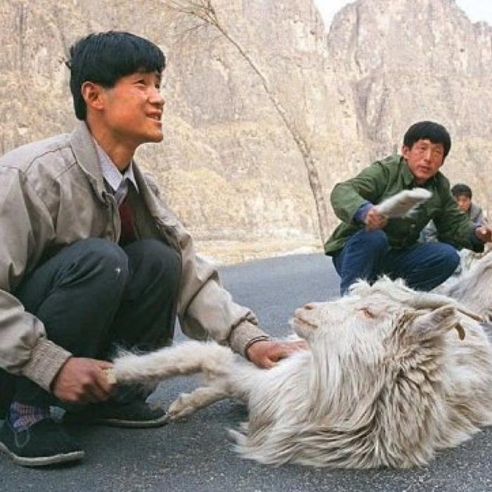 Goat Combing!