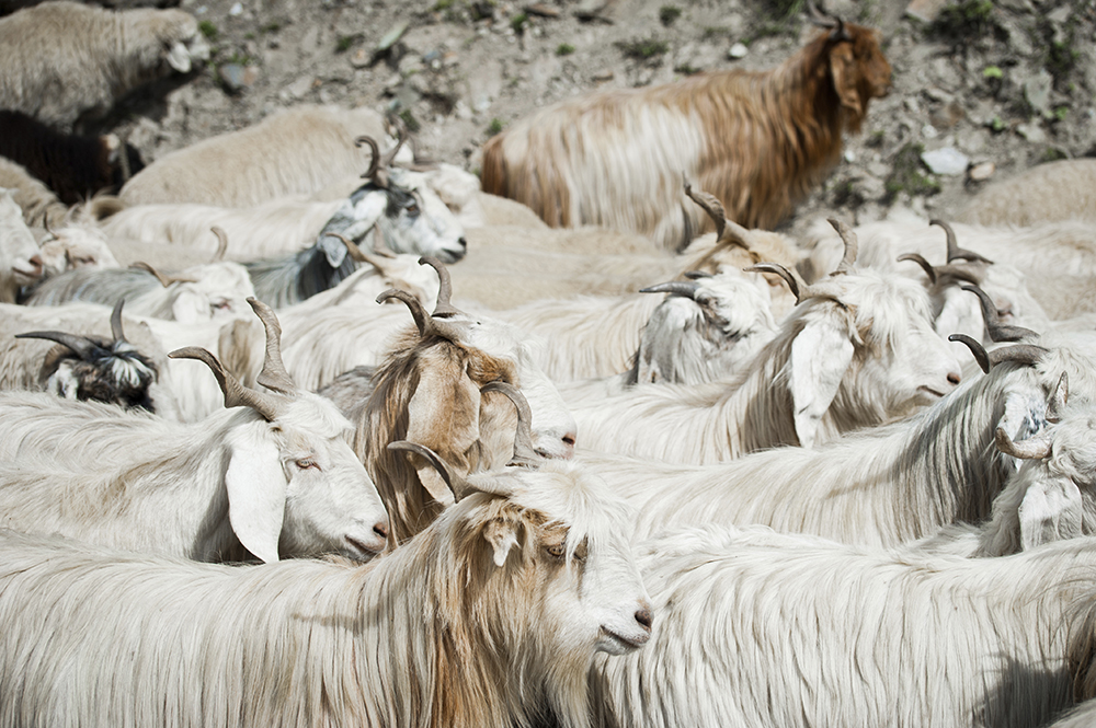 Herd of kashmir (pashmina) goats from Indian highland farm in La