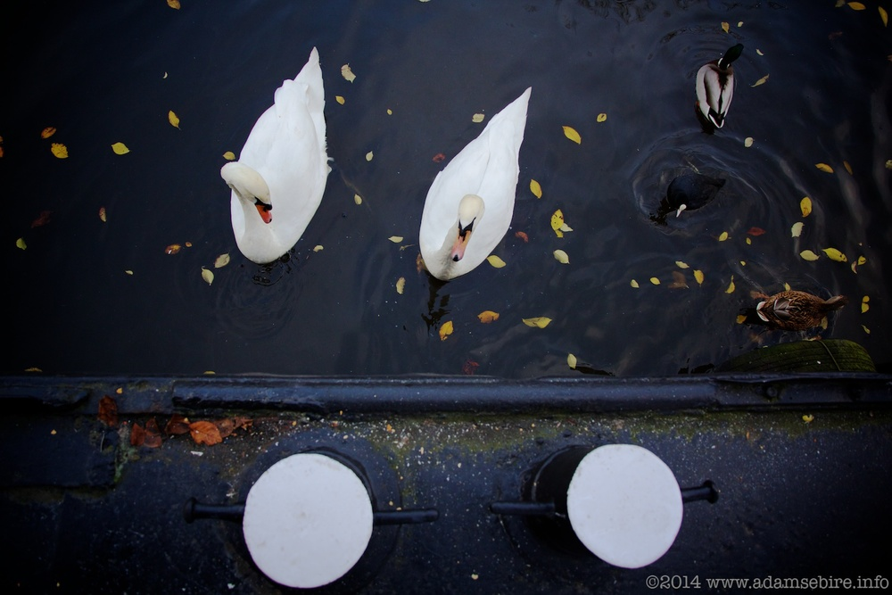 Swan pair from an Amsterdam houseboat