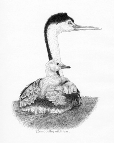 Clark's Grebe with chick
