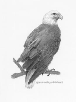 Bald eagle for site.jpg
