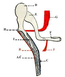 Tensor_tympani-muscle.jpg