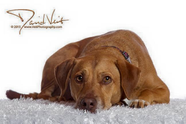 "Willow is a 5 year old people-loving  ""mini""  -  35 lbs, ridgeless, RR-beagle mix with liver nose coloring.  She now lives with a great mom & dad & two cats!"