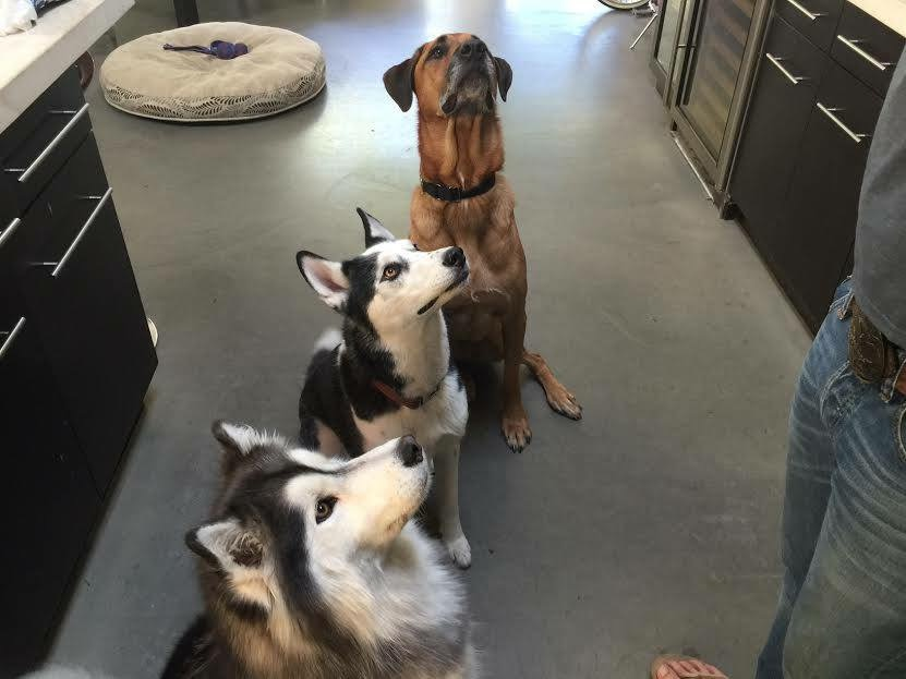 6 year old Joey, who we rescued from East Valley (Van Nuys) shelter in July 2015, was adopted by Ryan & Britt who spotted his CW6 morning news spot in October. He joins husky siblings Mia & Jax and lives the high life with a great backyard, doting parents & sister, and plenty of morning cookies!!