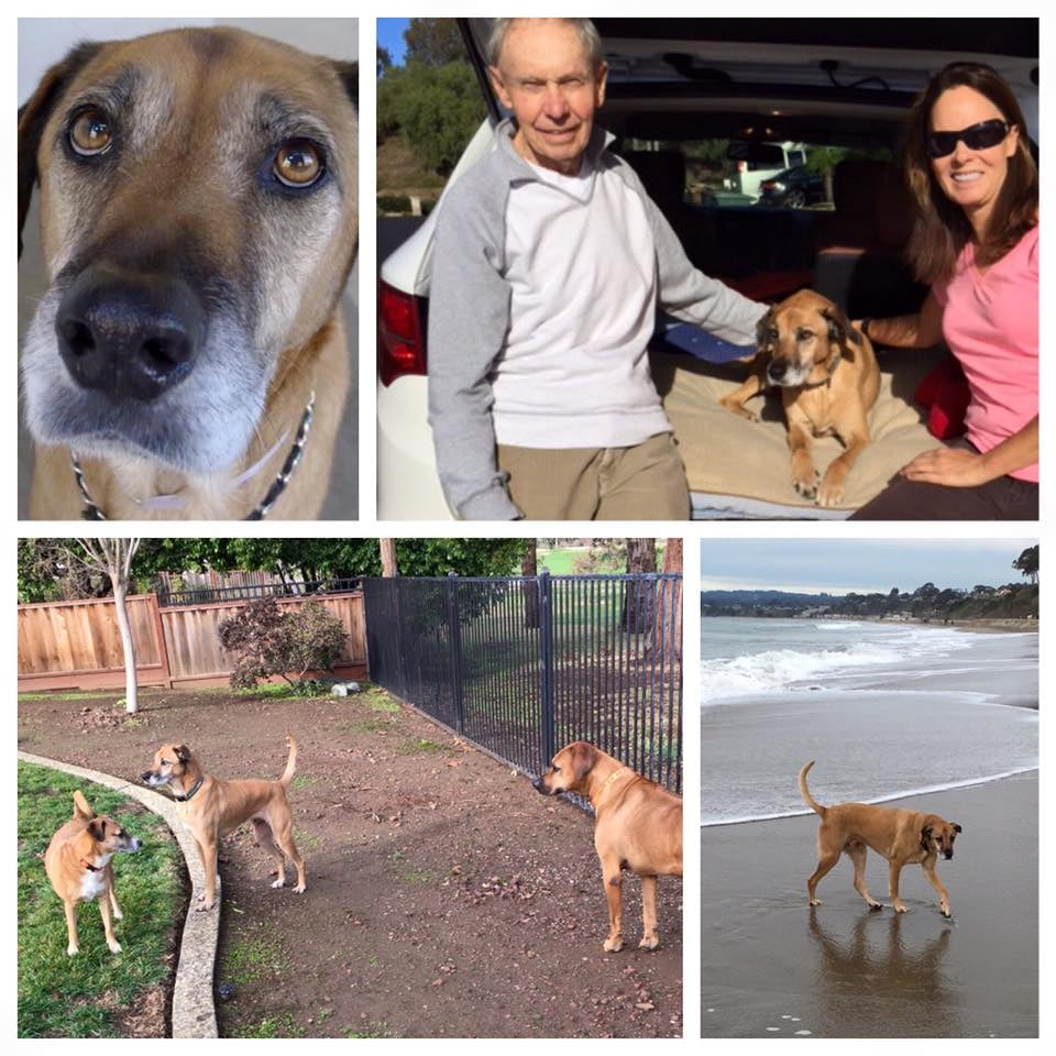 "Shonniee, a sad 8-year-old owner surrender who we pulled from Carson shelter in Los Angeles county in October 2015, has found happily ever after with his new dad, Maurice. He enjoys daily walks, the beaches of Northern California, and has built-in playmates ... Maurice's daughters' two dogs who live nearby!  Daughter Sue reports ""he's got 2 beds, lots of toys and pretty much follows my dad around and lays down next to him in the kitchen, the office, at the table, etc. He's such a sweet dog, I just can't believe he was dumped twice; so far he hasn't acted out, chewed something that wasn't ""his"" or done anything wrong. My dad is happy with Shonniee and is out and about the neighborhood every day with him."""