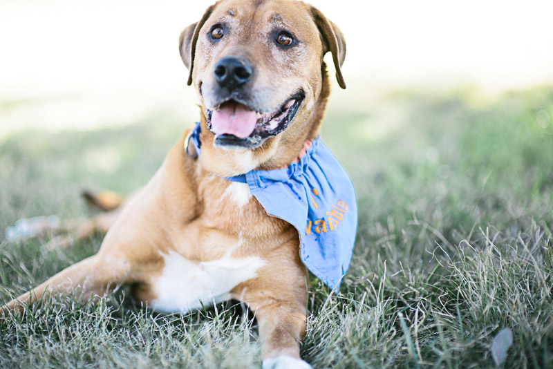 "March 14, 2016: In August 2015, we pulled  Oso  from East Valley shelter (Los Angeles) where he found himself when his longtime owner fell sick and could no longer care for him. After much love and networking from shelter volunteer, Toni, Oso came to live with dedicated Ridgeback rescuers Mary & Nick Isaac for many months. Oso was a sweetheart but not fond of little dogs or dominant dogs, so when things got a little stressful for the pack the Matthews family, stepped up to foster him. We enlisted the help and networking power of Senior Pets for Senior People and Susie's Senior Dogs and thanks to them, 2.5 weeks ago Oso went to his Forever Home with Nicole and her husband and their 10 year old pit mix, Daisy. Just as we were all about to rejoice and do happy dances, Nicole reported that Oso wasn't himself -- he seemed very lethargic, mopey and everything about him was off. Nicole set up an appointment to take him to her vet today at 3:00 but when she came home for lunch, she found Oso lying unresponsive and rushed him to the vet. X-rays showed a very enlarged heart and the doctor said he had hemangiosarcoma and was suffering. We made the difficult decision to help him to the Rainbow bridge. After months at the shelter and seven months in rescue, Oso was FINALLY getting his dream: a family who posted cute Instagram pictures of him every day, who snuggled him while watching TV, who was dedicated and committed to making it work. A young family who explicitly wanted to adopt a senior! As Nicole wrote us just yesterday ""he loves to go on walks, loves to eat. He has a wonderful heart. He is patient when you leave the room and is excited when you come back. He is very much a lover."" Nicole held him and loved him till his amazing soul was able to leave behind his broken body. She let us know when he had made the transition: ""He has peacefully crossed the rainbow bridge and will get to play with my Lucky dog and all the other wonderful dogs in heaven. The doctor said he was suffering and that it was good that I brought him in. I am just so thankful to have had the two weeks with him and been able to love him like we did. He can now chase all the little dogs he wants. Thank you for your kindness and for allowing us to love him in his last days. I wouldn't hesitate to do it again. He was a wonderful amazing loving pup.""  Rest in peace, dear Oso. You were loved immensely by your owner, the East Valley shelter volunteers, and the THREE families who got to spoil you and love on you. Bask in the sun, watch birds, smile your gorgeous smile. We love you."