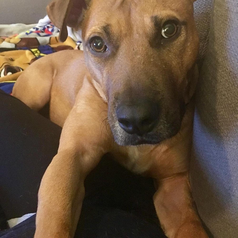March 2019 - When  Davey  was pulled from LA county's Carson shelter in February 2017, he had been labeled as a Ridgeback with a broken leg. However, when our board member went down to pull him, she soon realized Davey was a REALLY good actor: our Ridgeback-with-a-broken leg turned out to be a Pittie-with-a-slight-bruise! However, Davey had lots of scars on his face, head and front legs and he was skinny; we could only imagine such a tough life at a young age.  Davey was in our care for a full two years. For this entire time he had the most dedicated foster mom, Kerry, who loved him unconditionally, worked with him constantly, and was open to all suggestions. You see, Davey was no easy case. Alone with Kerry, he was loving, affectionate, sweet, funny and obedient. However, he attached quickly and became aggressive toward visitors into her house, barking like crazy if neighbors were in the courtyard, and randomly lunging on walks. Davey also suffered from a lack of confidence and inability to read dogs' signals... so he would go crazy lunging and barking when he saw them. When his foster mom travelled for work, Davey was boarded at  Stonecreek Animal Hospital . The entire staff loved him (especially the kennel manager, Scott) and he was a COMPLETELY different dog there: non-reactive in the lobby, left crated dogs alone, and never had issues with dogs or people.  However, we knew this was not a long term solution so we turned to one of our amazing trainers: Alexandra Gant of  Behave - Dog Training & Behavior Modification . Alex doesn't do board and train BUT she lives near Wag San Diego, a boarding and doggy day care facility, so we boarded Davey there and Alex dedicated months of her free time to work with him. She was able to analyze the differences between how he was with Kerry and how he was at Stonecreek and WITH Scott. She worked with him on his confidence and taught him cues and coping mechanisms for how to interact with the world. Alex was able to transform un
