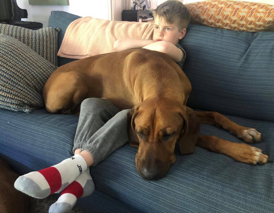 """March 2019 - In November 2018, a wonderful young couple approached us about surrendering their young dog  Koda  because they were unable to manage his health problems, which all their doctors believed to be IBD (Irritable Bowel Disease) even though all the tests came back normal. They had spent thousands of dollars on diagnostic tests and special foods but they simply couldn't right the ship. He was a very beautiful, well-socialized, perfect-temperament boy except for a little separation anxiety and they felt he should have a chance at getting better. We took Koda into foster and with the help of a team of professionals, were able to manage his symptoms.  At the foster's house, Koda thrived. His diarrhea cleared up and it never came back even after he broke into the microwave, pantry and refrigerator and ate things he never, ever should have eaten. Then, one day, Koda wouldn't eat. We joke but it's true: when a RR doesn't eat – rush to vet. Koda didn't eat dinner, breakfast the next day nor lunch so we raced him to the vet who xrayed and found a blockage. During emergency surgery they removed a piece of a dog toy, and as long as they were in there, they did a gastropexy and they biopsied his intestines because that was the only test left to do to definitively diagnose IBD. The biopsy results came back: normal. Koda did not have IBD. We consulted with all his vets and determined that Koda's intestinal issues must have all been due to stress. This past month we felt his health had stabilized enough so we started looking for the forever home that would be willing to continue with his care and, most importantly, work with his separation anxiety. And we found them. Or more to the point, they found us. His new family says """"We knew our Ridgeback Ruby would be thrilled to have a playmate to romp around the yard with, and as soon as we saw the posting for Koda, we had a feeling he was The One. His sweet, soulful eyes mesmerize us, and the way he coaxes Ruby to play is so fun"""