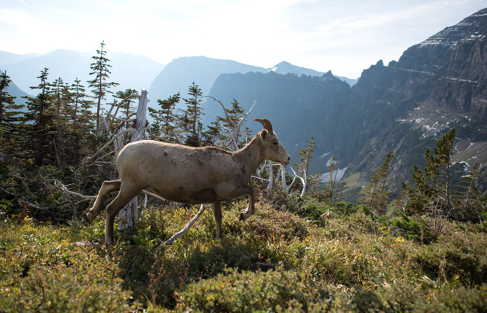 It was a thrill to the see bighorn sheep so high up in the backcountry of Glacier!