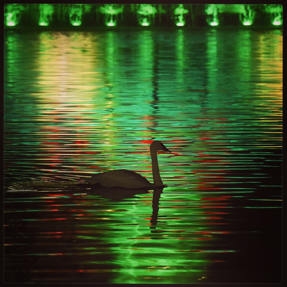 Swan and reflection of holiday colored fountain.