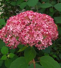 Invincibelle Spirit® is the first-ever pink Annabelle hydrangea, producing loads of mophead flowers from early summer to frost. Dark pink buds open to hot pink flowers, fading to soft pink and finally to green. This hardy adaptable native selection is a reliable bloomer, even after the harshest of winters, and is also quite heat tolerant.